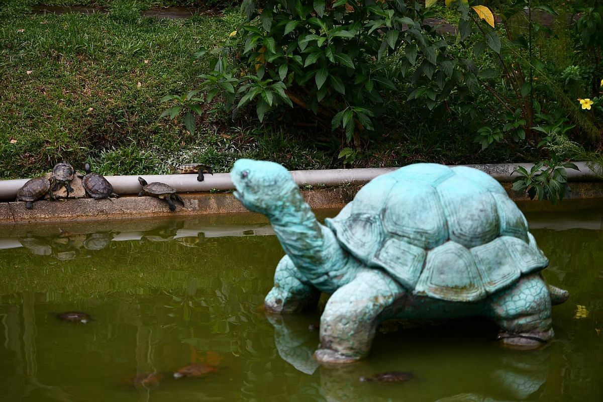 A statue of a tortoise against the red-eared sliders at the edge of the pond.