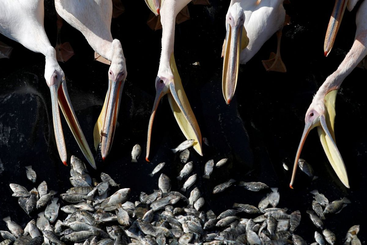Migrating Great White pelicans are fed as part of an Israeli Agriculture Ministry funded project aiming to prevent the pelicans from feeding from commercial fish breeding pools, at a water reservoir in Mishmar Hasharon, central Israel, on Oct 24, 201