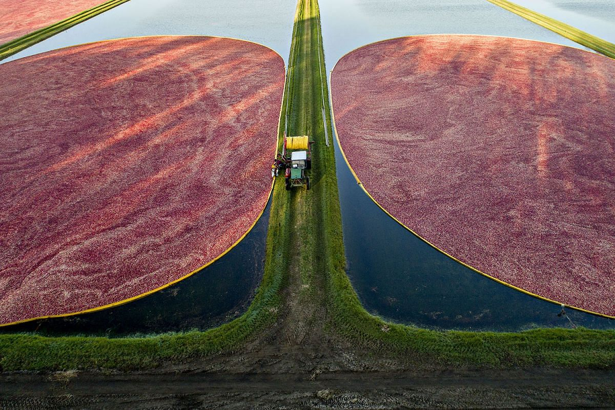 A photo released today Oct 27, 2017, shows containment booms surrounding floating cranberries in flooded bogs during harvest in this aerial photograph taken above Camp Douglas, Wisconsin, U.S., on Wednesday, Oct. 18, 2017. PHOTO: BLOOMBERG