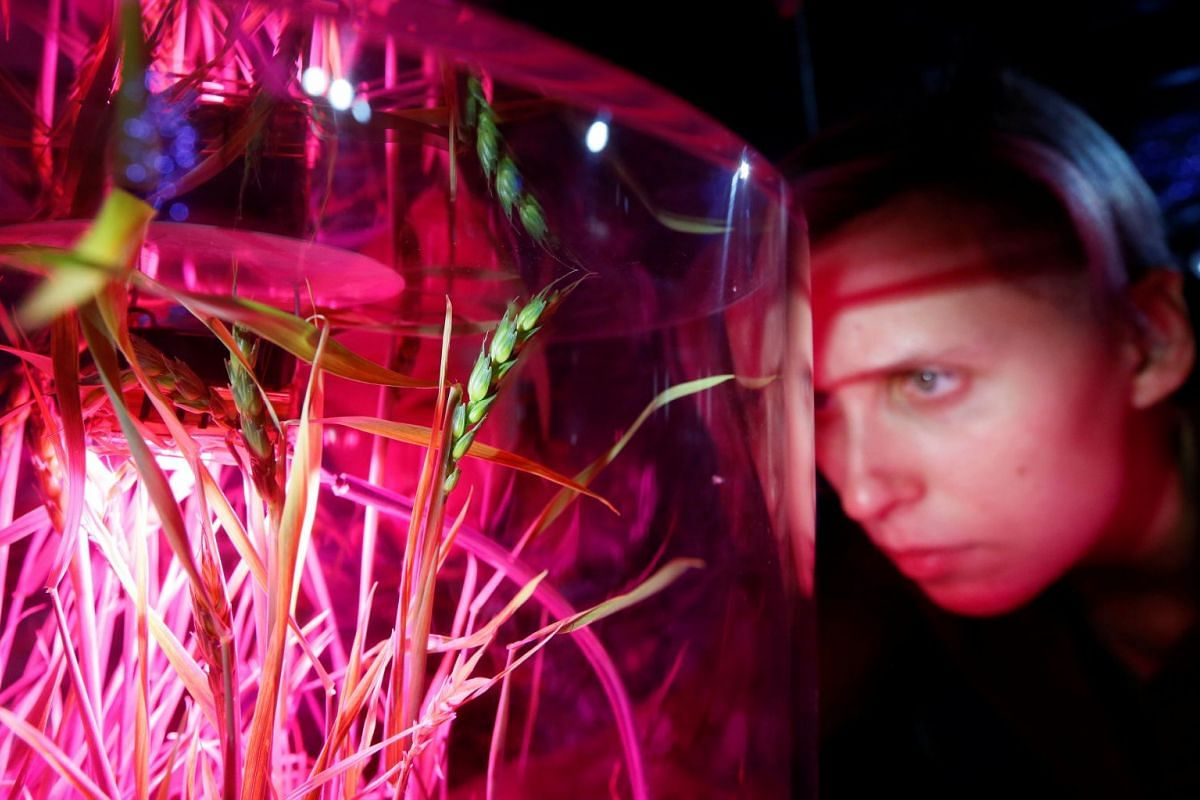 A visitor looks at ears of wheat grown by the hydroponic method without soil at the Mission Mars exhibition by the Newton Park interactive museum of science together with the children's technopark Quantorium in the Siberian city of Krasnoyarsk, Russi