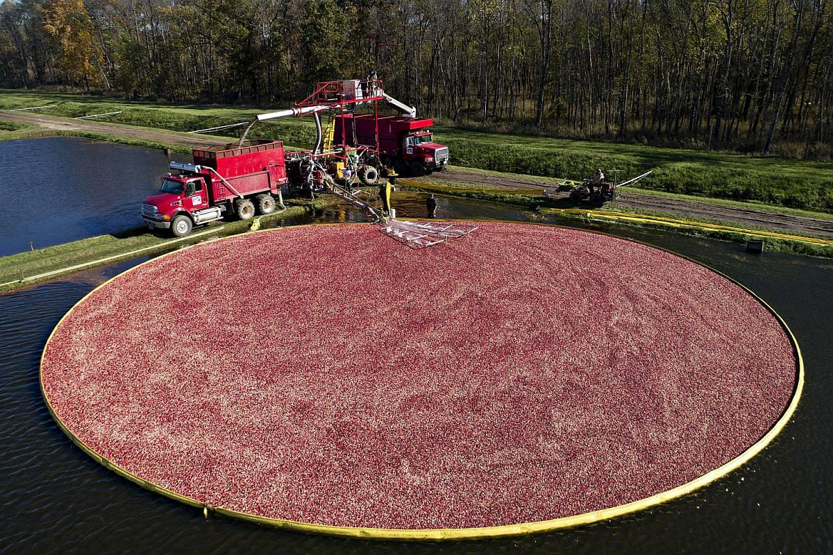 A containment boom surrounds floating cranberries in a flooded bog during harvest at Camp Douglas, Wisconsin.