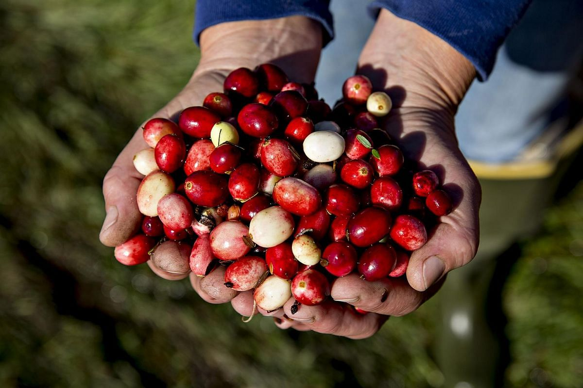 Cranberries are displayed for a photograph during harvest.