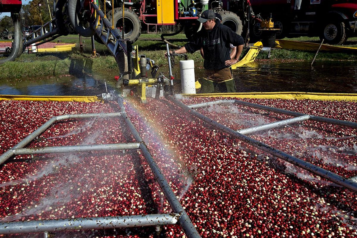 Cranberries are floated toward a harvesting machine.