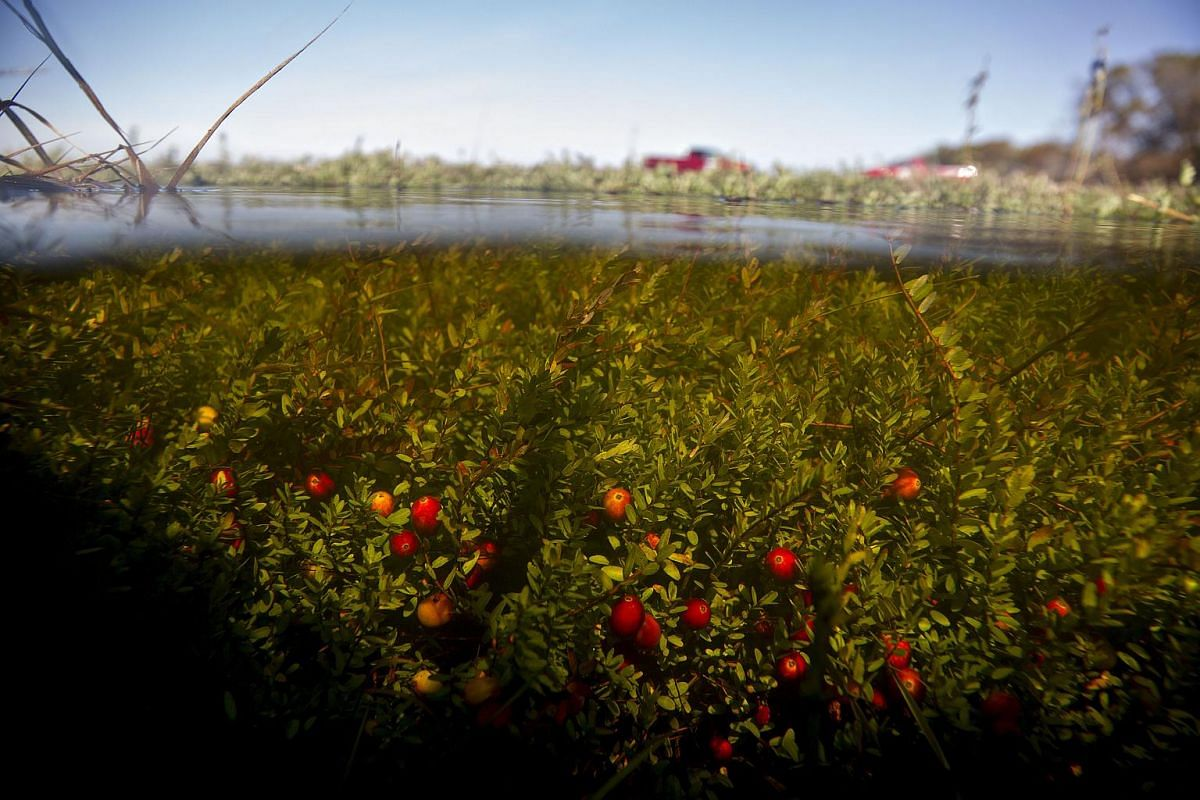 Cranberries hang from plants in a flooded bog.