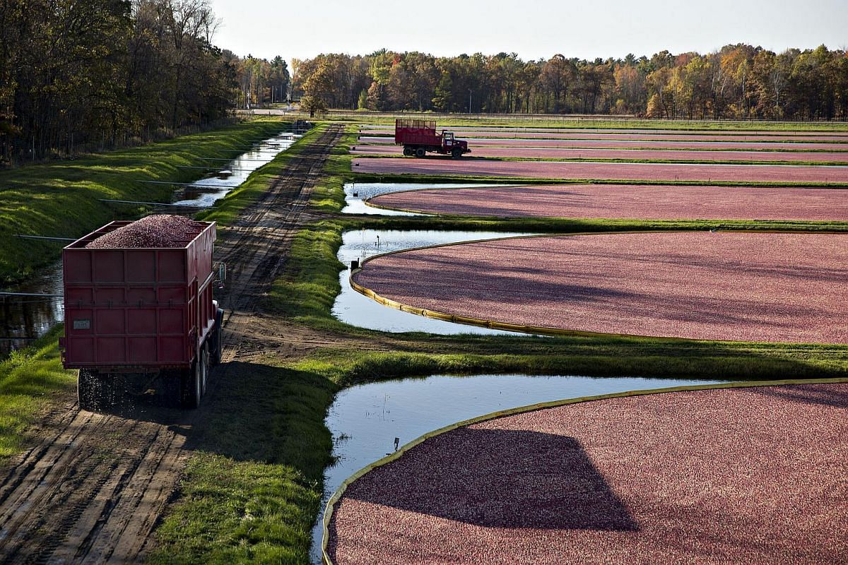 A truckload of freshly harvested cranberries is driven along a dike near flooded bogs.