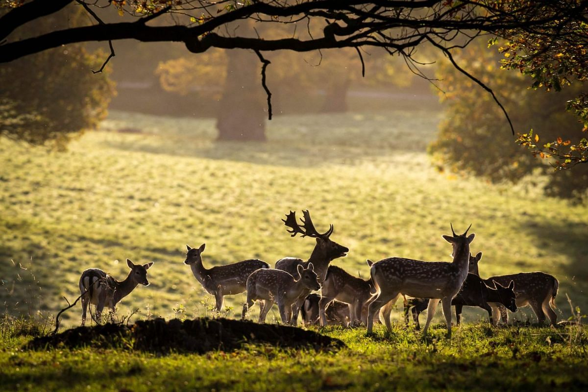 Deer graze in Fountains Abbey deer park near Ripon in North Yorkshire, northern England on October 30, 2017. PHOTO: AFP