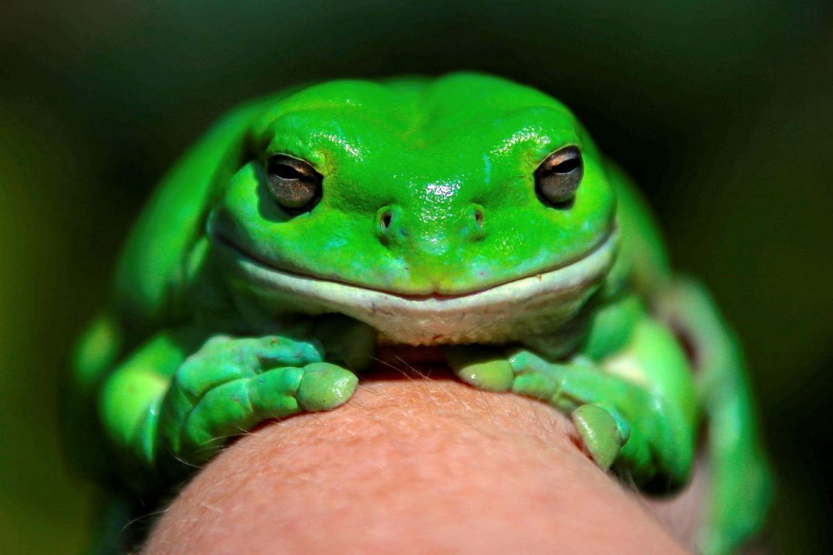"""An Australian Green Tree frog named """"Godzilla"""" sits on the hand of Kathy Potter of the Frog and Toad Study Group during the launch of the Australian Museum's national frog count phone app called """"FrogID"""" in Sydney, Australia, November 10, 2017."""
