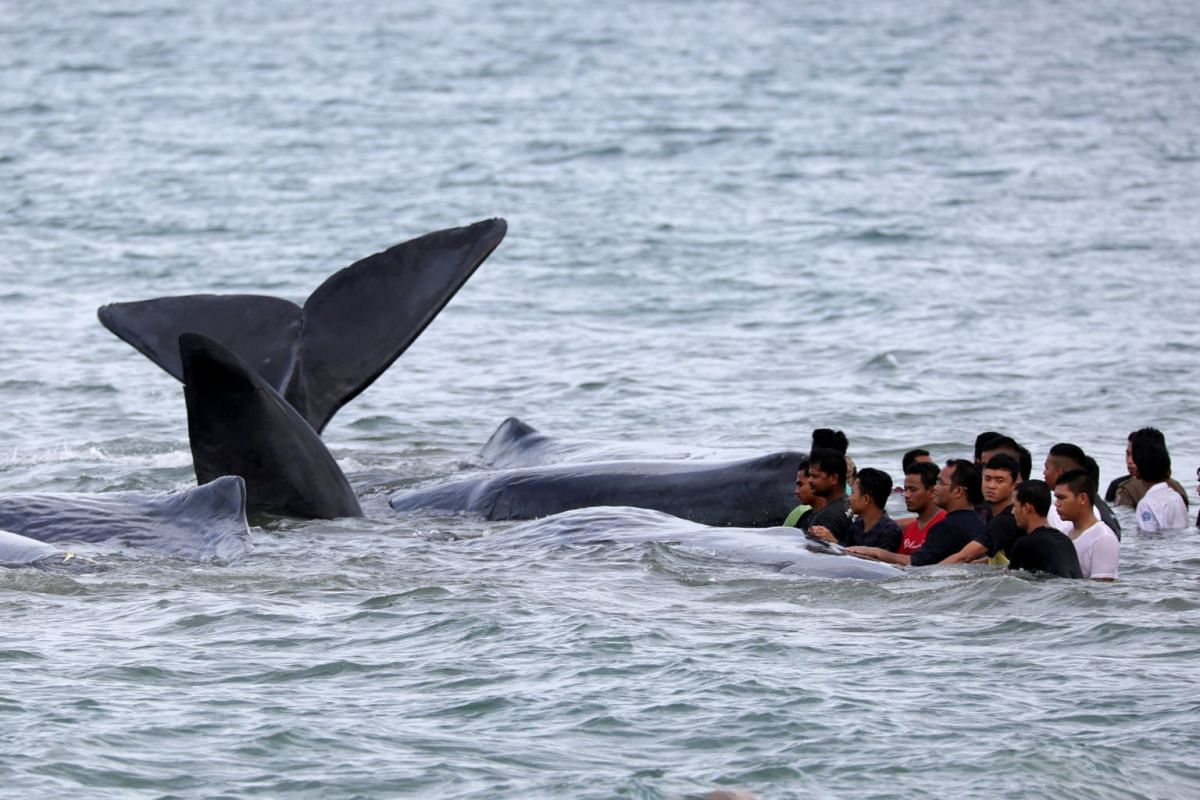 Government workers, residents and environmentalists try to help to a pod of sperm whales stranded in shallow water in Aceh Besar, Aceh, Indonesia November 13, 2017