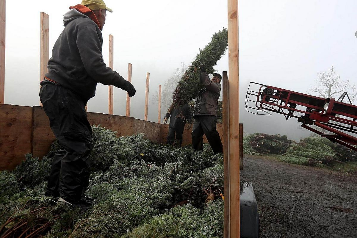 Workers at Holiday Tree Farms load freshly-harvested Christmas trees onto a truck at the Beaver Creek shipping yard on Nov 18, 2017 in Philomath, Oregon.