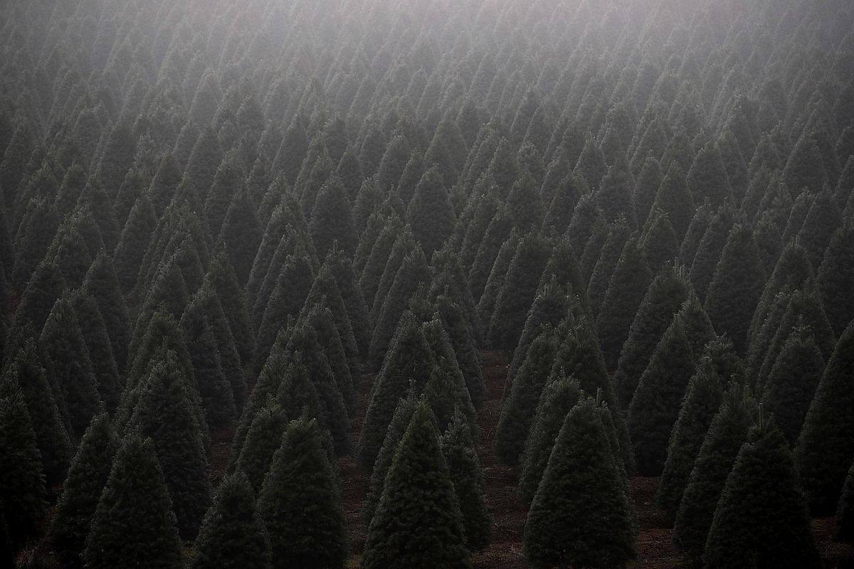 Rows of Douglas Fir Christmas trees stand in a field on Nov 18, 2017 in Monroe, Oregon.