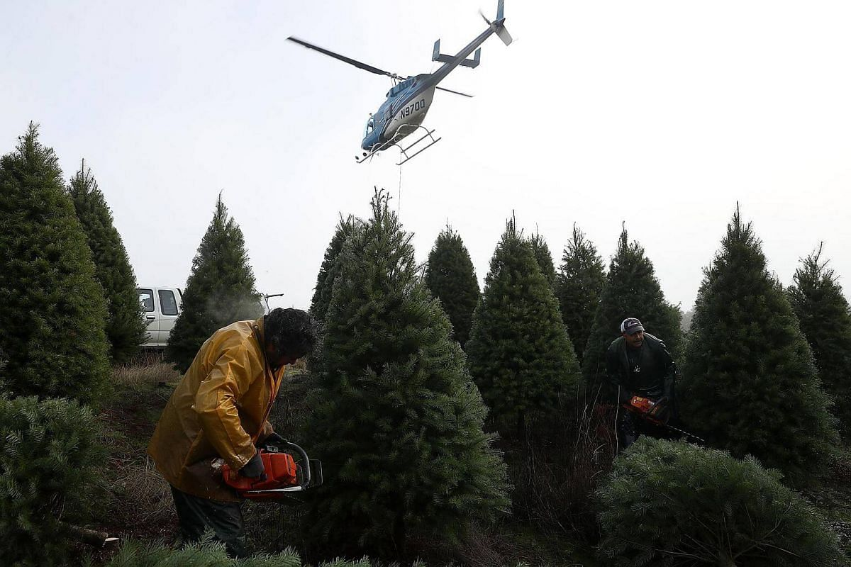 Workers use chainsaws to cut down Douglas Fir Christmas trees at the Holiday Tree Farms on Nov 18, 2017 in Monroe, Oregon.