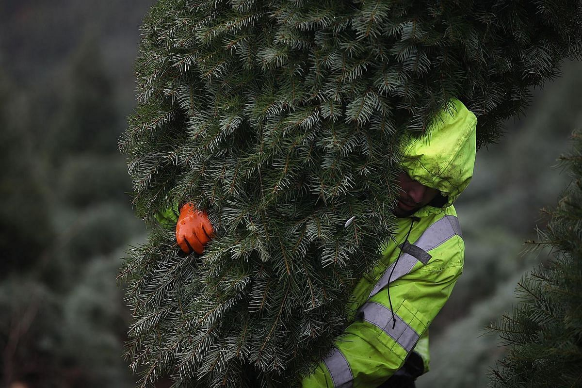 A worker bundles up freshly-harvested Douglas Fir Christmas trees that will be lifted by helicopter from a field at the Holiday Tree Farms on Nov 18, 2017 in Monroe, Oregon.