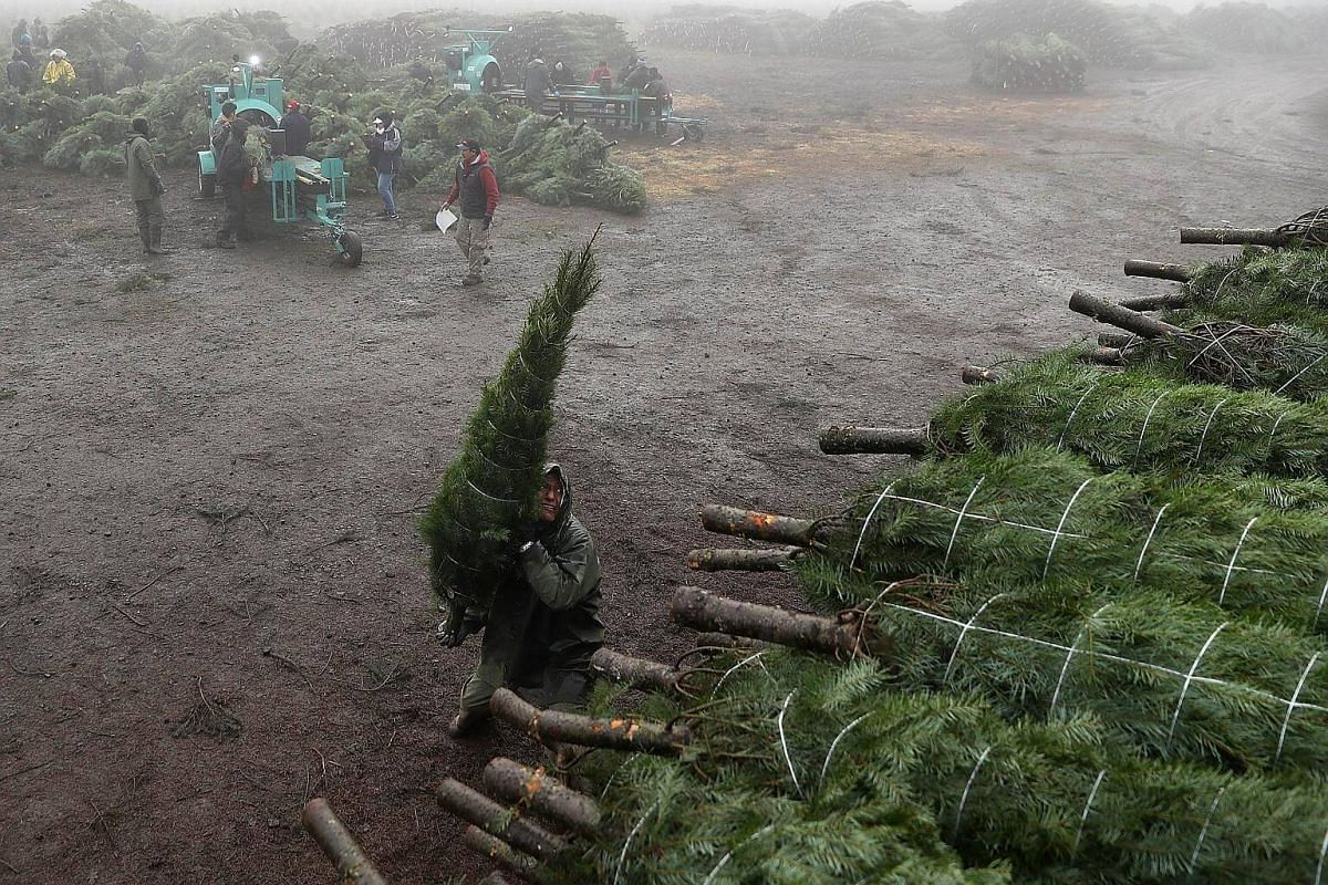 A worker at Holiday Tree Farms throws a freshly-harvested Christmas tree onto a pile of trees that are ready to be shipped at the Beaver Creek shipping yard on Nov 18, 2017 in Philomath, Oregon.