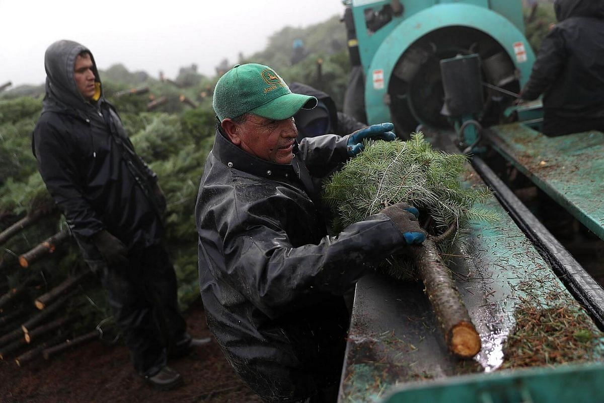 Workers at Holiday Tree Farms sort freshly-harvested Christmas trees at the Beaver Creek shipping yard on Nov 18, 2017 in Philomath, Oregon.