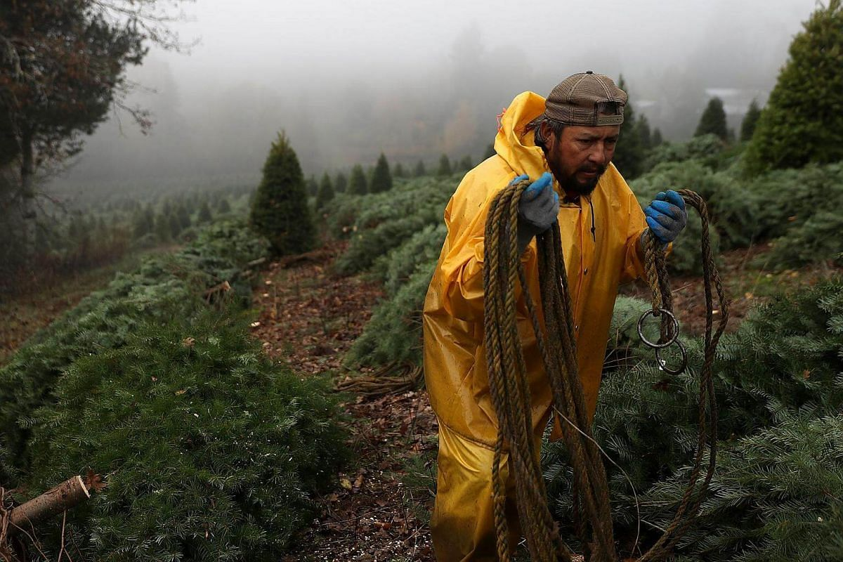 A worker preapres to bundle up freshly-harvested Douglas Fir Christmas trees that will be lifted by helicopter from a field at the Holiday Tree Farms on Nov 18, 2017 in Monroe, Oregon.