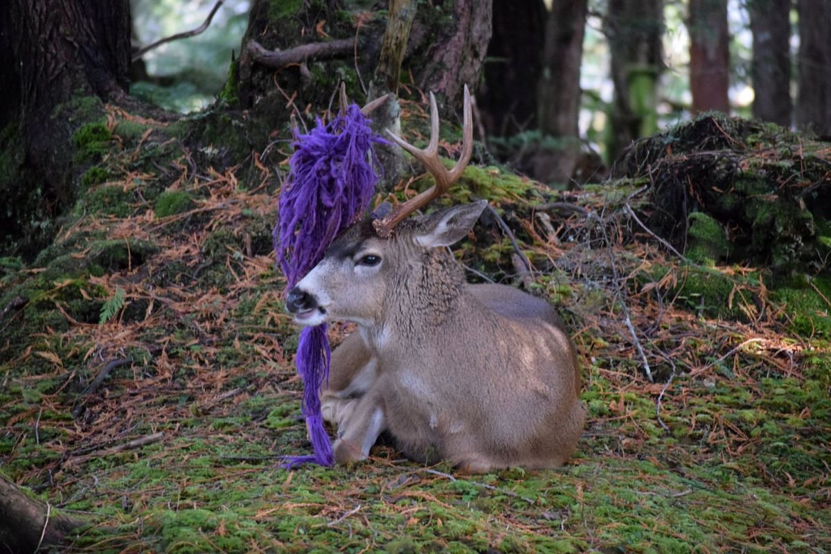 """A deer, which locals have nicknamed """"Hammy"""", with parts of a hammock stuck in its antlers in Prince Rupert, British Columbia, Canada, in this Nov 12, 2017 picture obtained from social media. PHOTO: KRISTY YASCHUK VIA REUTERS"""