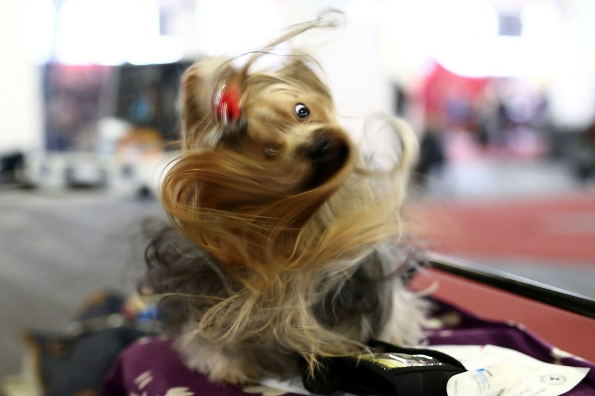 "A dog reacts as he awaits the competition during the ""Zagreb Winter Classic"" dog show in Zagreb, Croatia, November 26, 2017. PHOTO: REUTERS"
