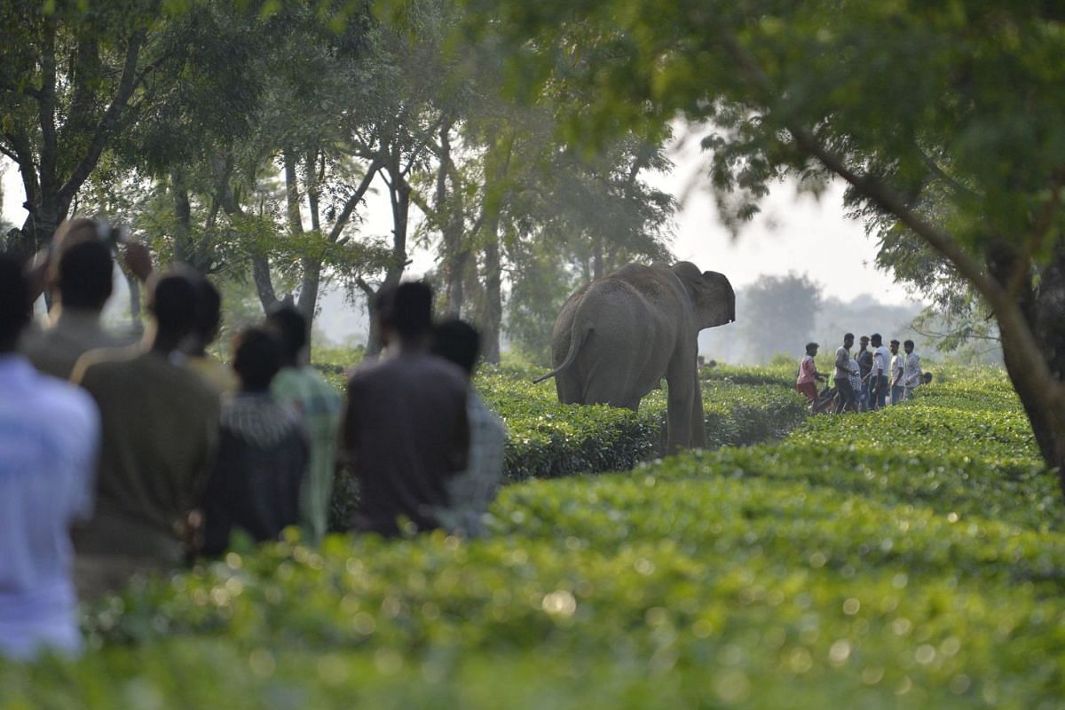 Indian villagers look on as a herd of 46 wild elephants walk through the Gangaram Tea Garden, some 38 km from Siliguri on November 29, 2017. PHOTO: AFP