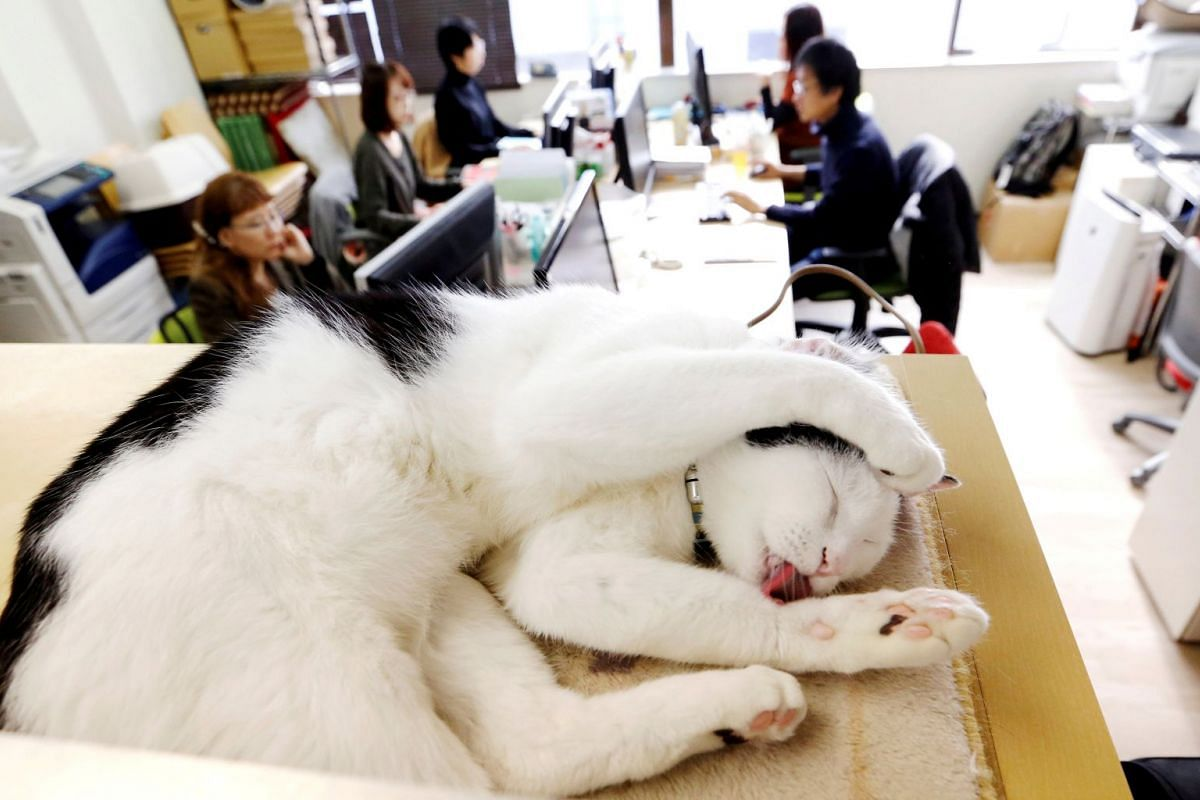 A pet cat of an employee of Japan's IT firm Ferray Corp, is seen at the company's office in Tokyo, Japan on Dec 5, 2017. PHOTO: REUTERS