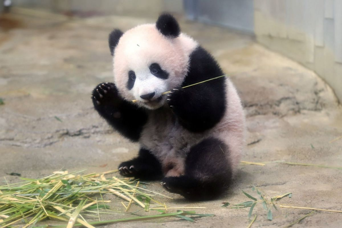 A baby panda Xiang Xiang, born from mother panda Shin Shin on June 12, 2017, eats bamboo during a press preview ahead of the public debut at Ueno Zoological Gardens in Tokyo, Japan on Dec 18, 2017. PHOTO: REUTERS