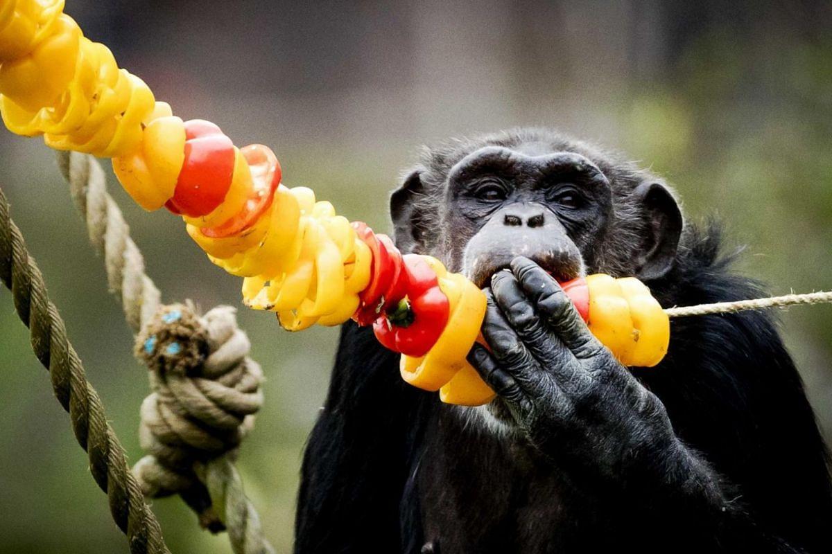 A chimpanzee enjoys a Christmas dinner in Safariparc Beekse Bergen in Hilvarenbeek, The Netherlands.
