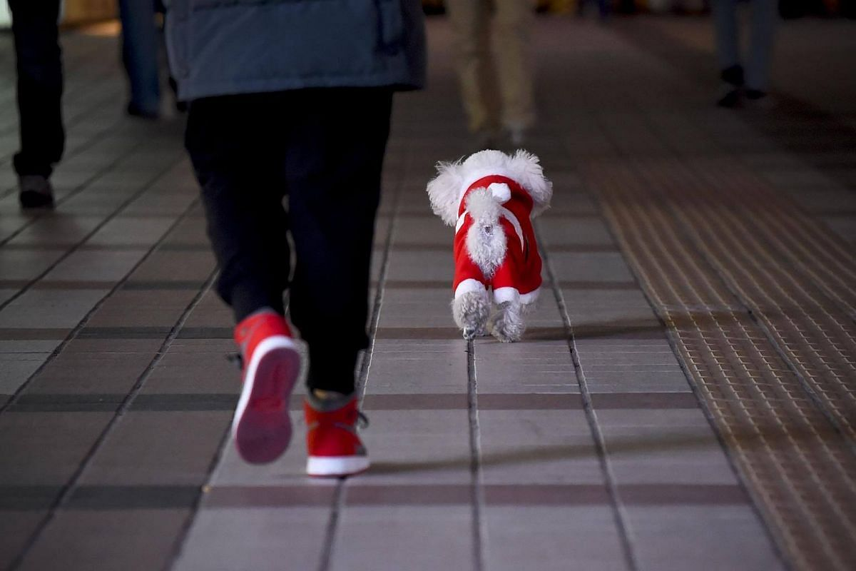 A dog dressed in a Christmas costume and its owner walk along a street in Beijing, on Dec 24, 2017.