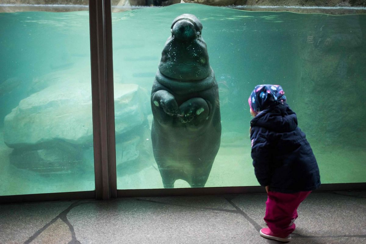 A young visitor interacts with a baby hippopotamus swimming in its enclosure at the Berlin Zoo on Janaury 1, 2018. PHOTO: AFP