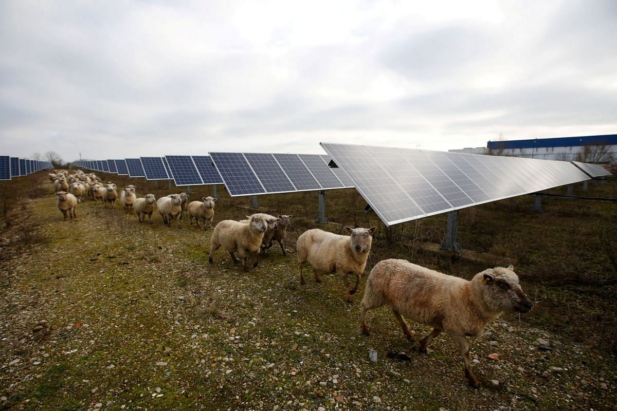 Sheep are herded at a photovoltaic power plant in Allonnes near Le Mans, France January 8, 2018. PHOTO: REUTERS