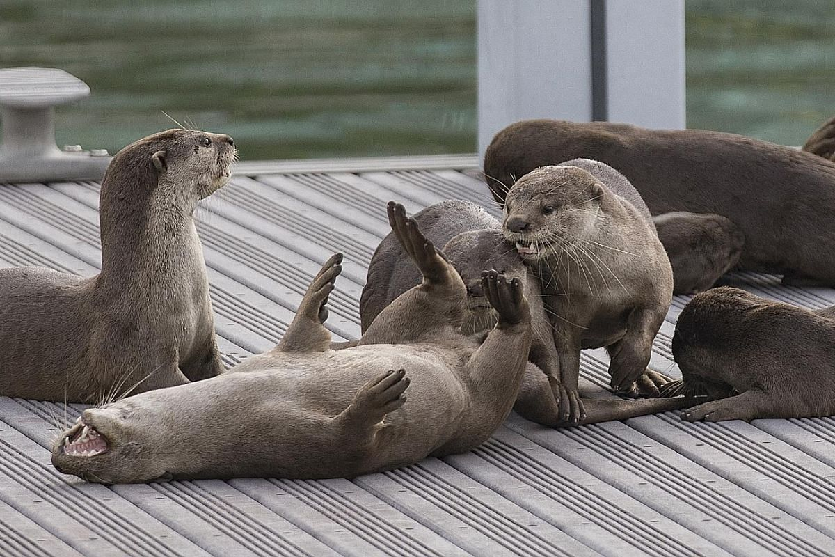 """Smooth-coated otters are famous in Singapore, with distinct groups forming such as the """"Bishan family"""". A small-clawed otter in the Singapore Zoo. These otters have been spotted only on offshore islands in recent decades. There are at least 60 otters"""