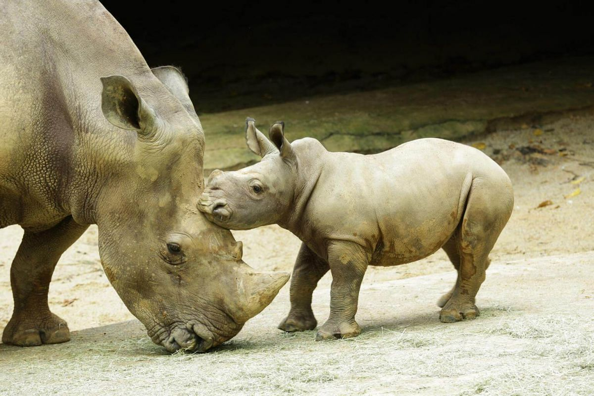 Oban the white rhino calf frolics in his exhibit next to his mother, Donsa, in Singapore Zoo.