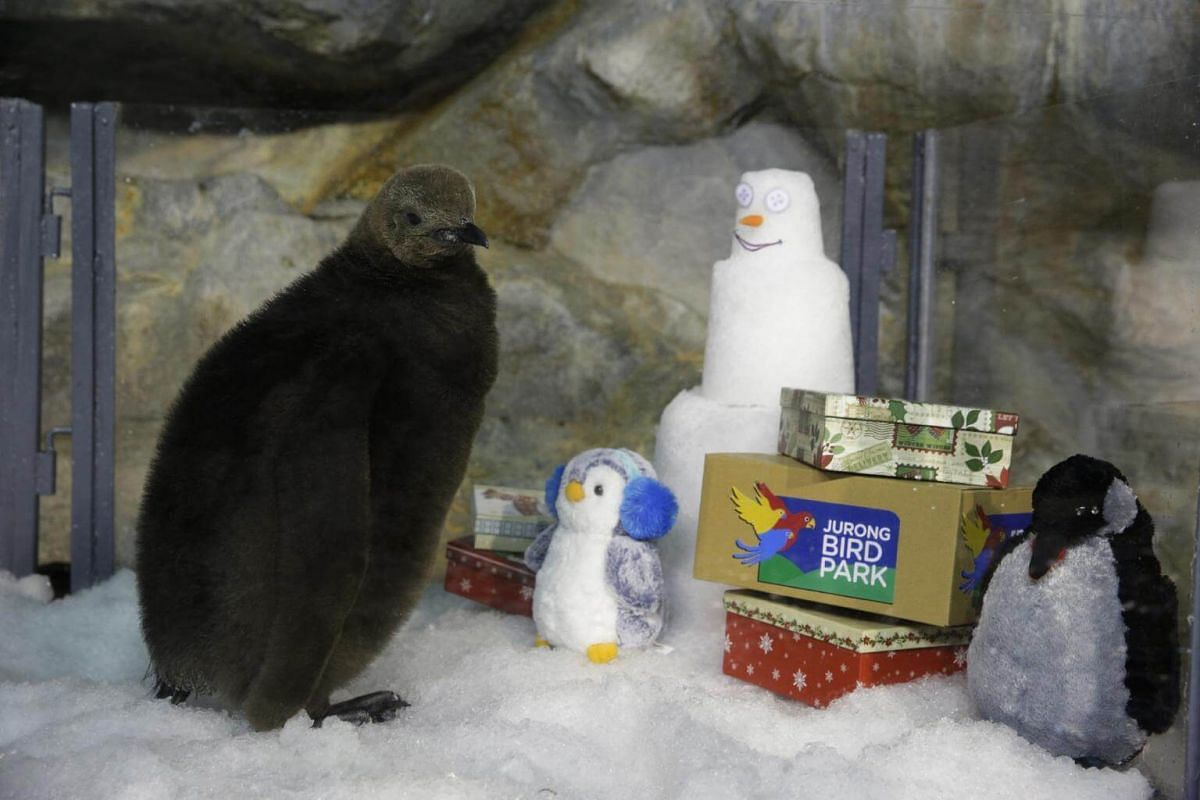 Maru, the king penguin chick, receives a myriad of Christmas goodies while being introduced to the rest of its family.