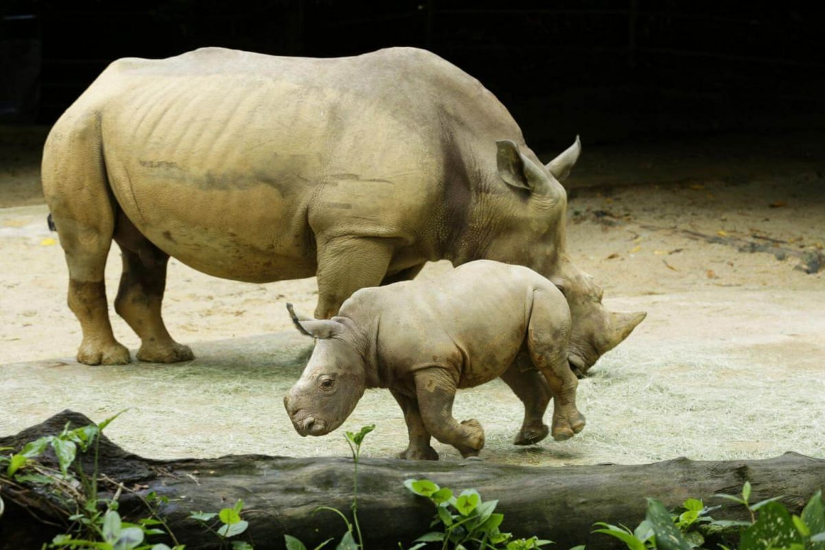 Born to female white rhino Donsa on Sept 6, 2017, Oban is Donsa's 11th baby and one of seven white rhinos at the park.