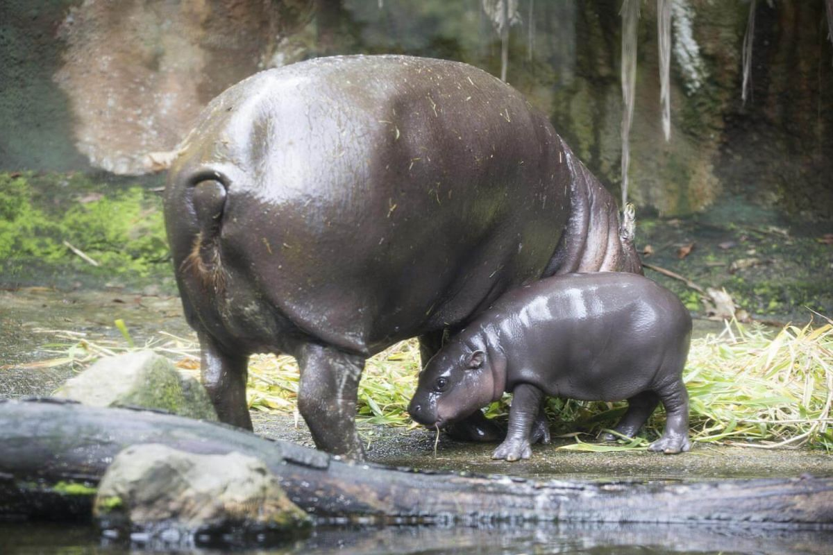 Singapore Zoo welcomed Abina, the park's 24th successful pygmy hippo birth.