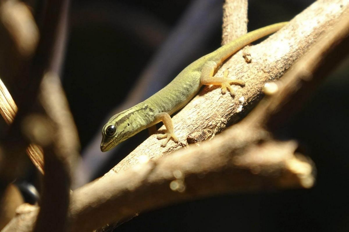 Two critically endangered electric blue geckos hatched in the park's newly revamped reptile exhibit RepTopia, on Dec 22, 2017.