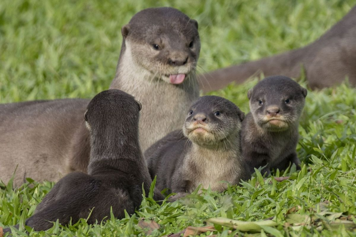 Singapore's otters are most likely all hybrids between small-clawed and smooth-coated otters. However, they do not look like hybrids, as the union happened several generations ago and the original offspring have bred with smooth-coated otters acros