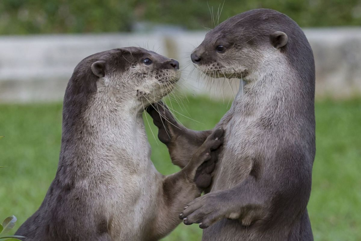 Smooth-coated otters are famous in Singapore, with distinct groups forming such as the 'Bishan family'.