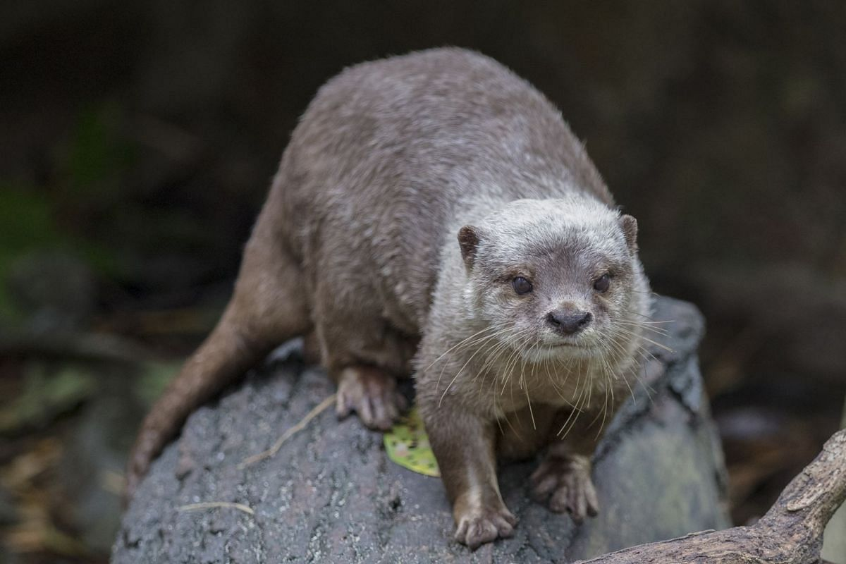 A small-clawed otter in the Singapore Zoo. These otters have been spotted only on offshore islands in recent decades.