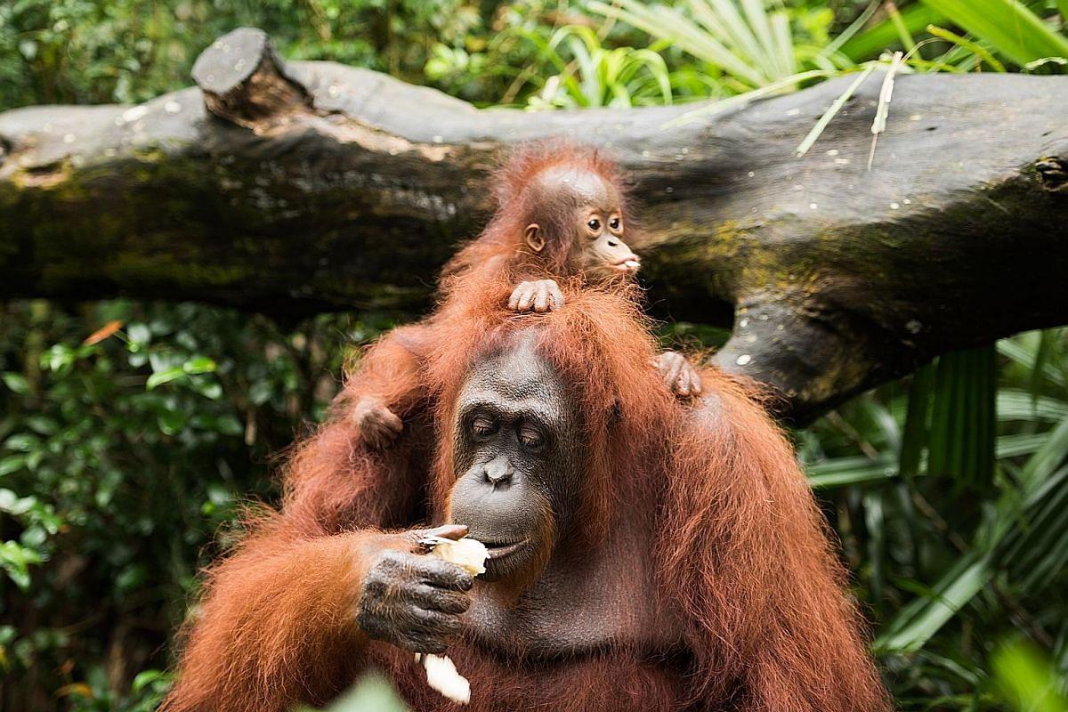 Khansa, a female critically endangered Bornean orangutan, is the 46th successful orangutan birth at Singapore Zoo.