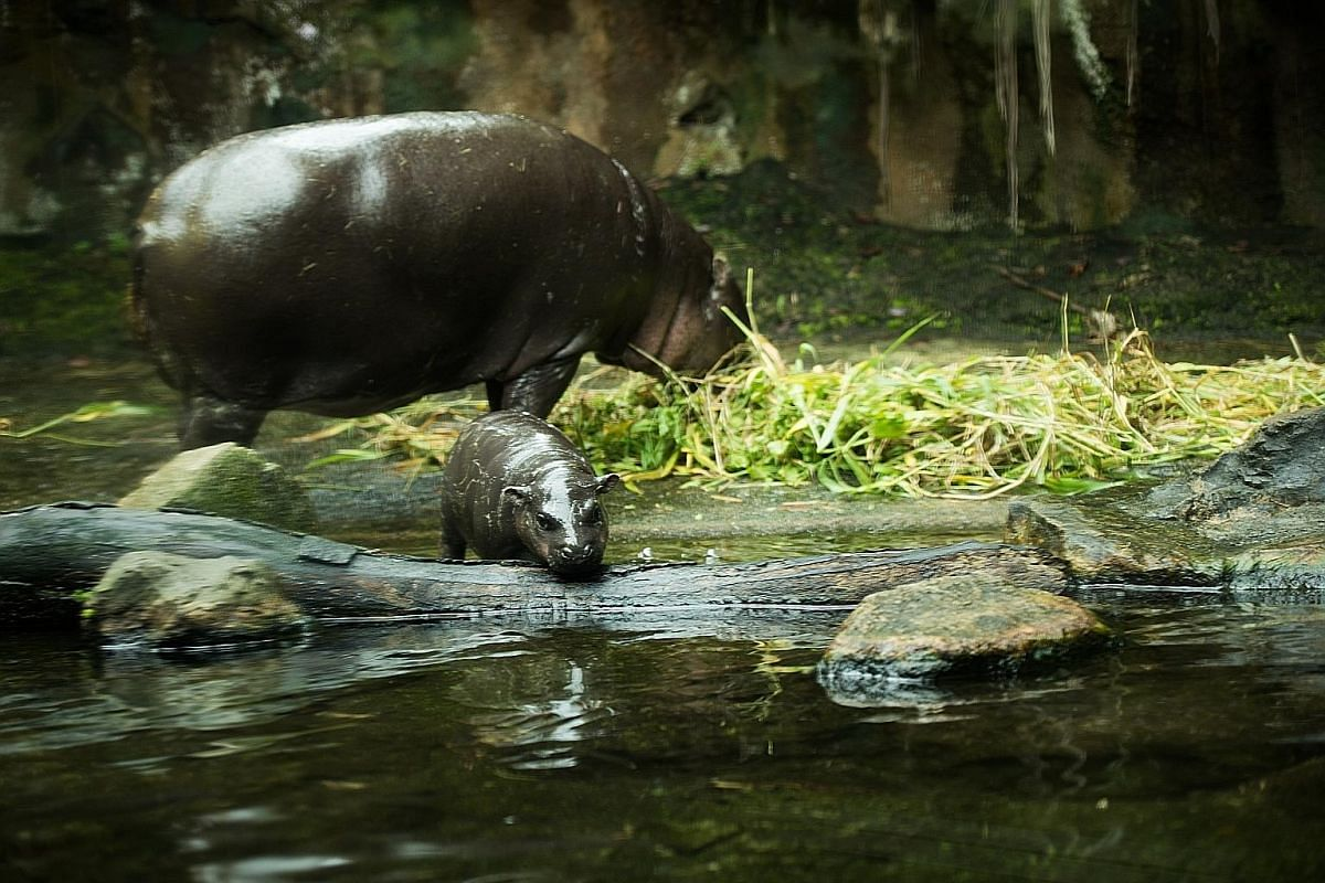 """Abina, which means """"born on Tuesday"""" in Ghanaian, is the Singapore Zoo's 24th successful female pygmy hippo birth."""