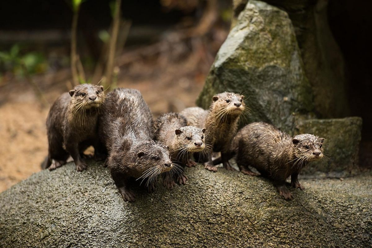 The Night Safari and Singapore Zoo welcomed 14 Asian small-clawed otters last year.