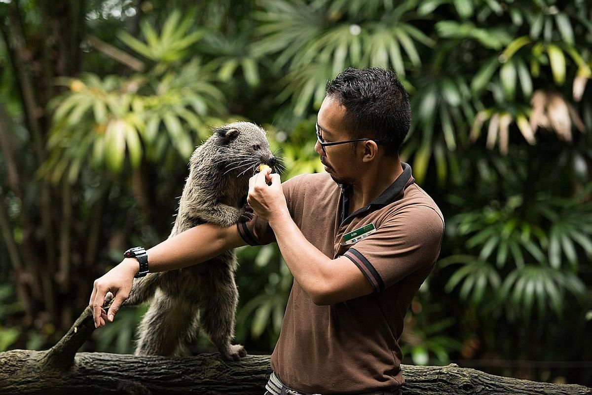 """Bintang, which means """"Star"""" in Malay, is an eight-month-old male bearcat or binturong. Despite its name, the bearcat is actually a member of the civet family. It is listed as vulnerable on IUCN's Red List due to rapid population decline."""