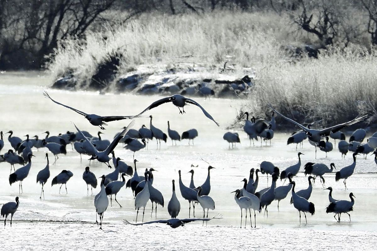 A flock of Japanese red-crowned cranes fly over the misty Setsurigawa river in Tsurui, Hokkaido, on Saturday morning. The river is a habitat for the cranes, which are designated a special natural national treasure. On this cold morning, the river was