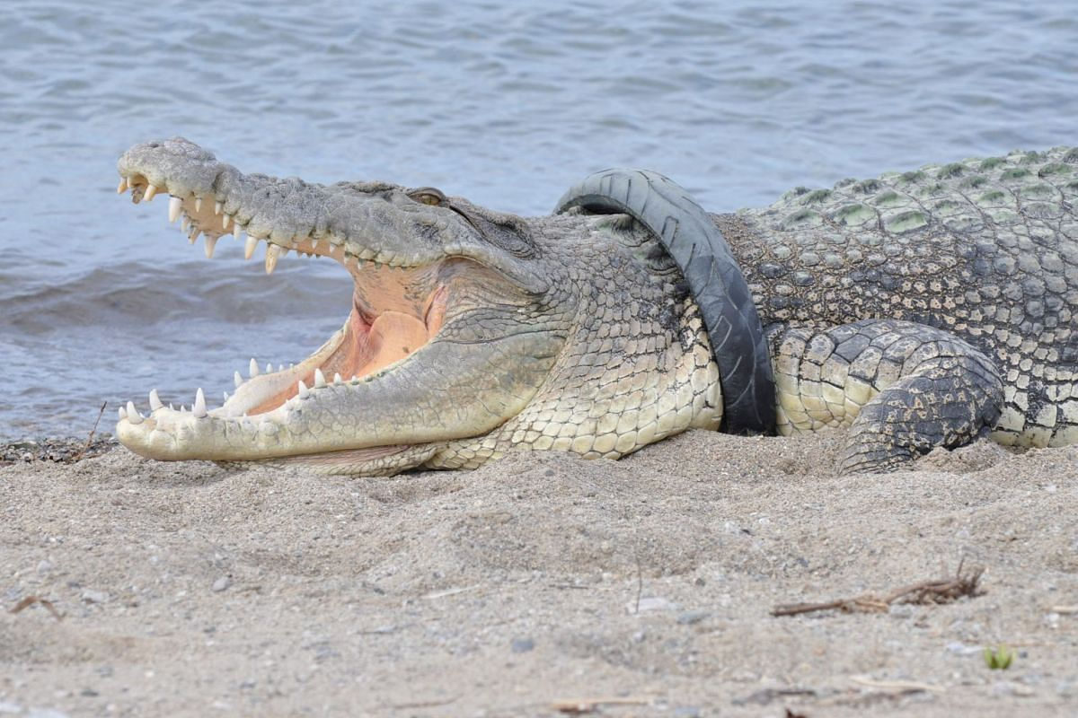 A crocodile that has had a motorcycle tyre around its neck for at least 2 years, sunbathes on a beach in Palu City, Central Sulawesi, Indonesia, January 16, 2018