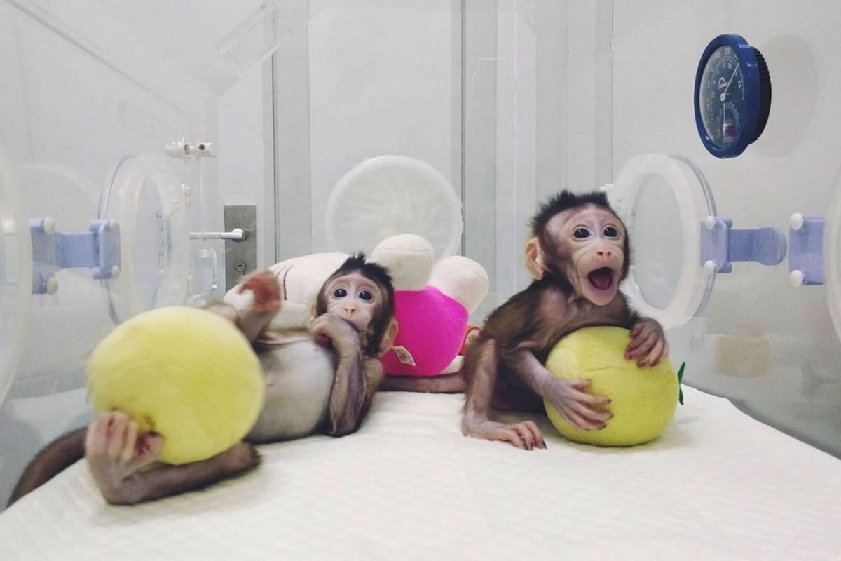Cloned monkeys Zhong Zhong and Hua Hua are seen at the non-human primate facility at the Chinese Academy of Sciences in Shanghai, China on Jan 20, 2018.