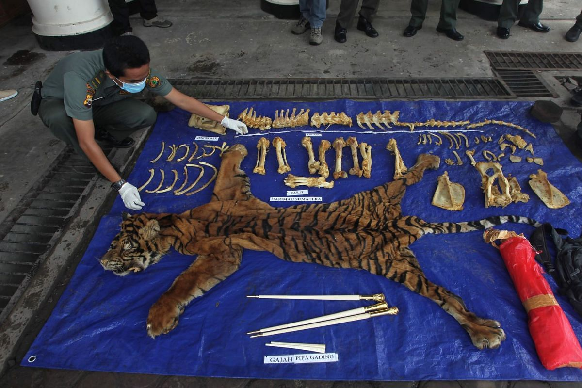 An Indonesian official displays a tiger skin, bones and smoking pipes made of elephant ivory at a natural resources conservation agency (BKSDA) office in Bengkulu on Jan 24, 2018.