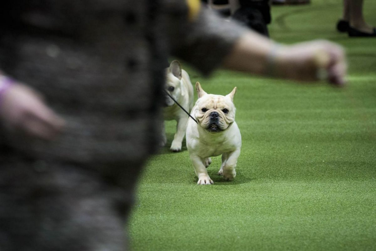 French Bulldogs competing at the 142nd Westminster Kennel Club Dog Show.