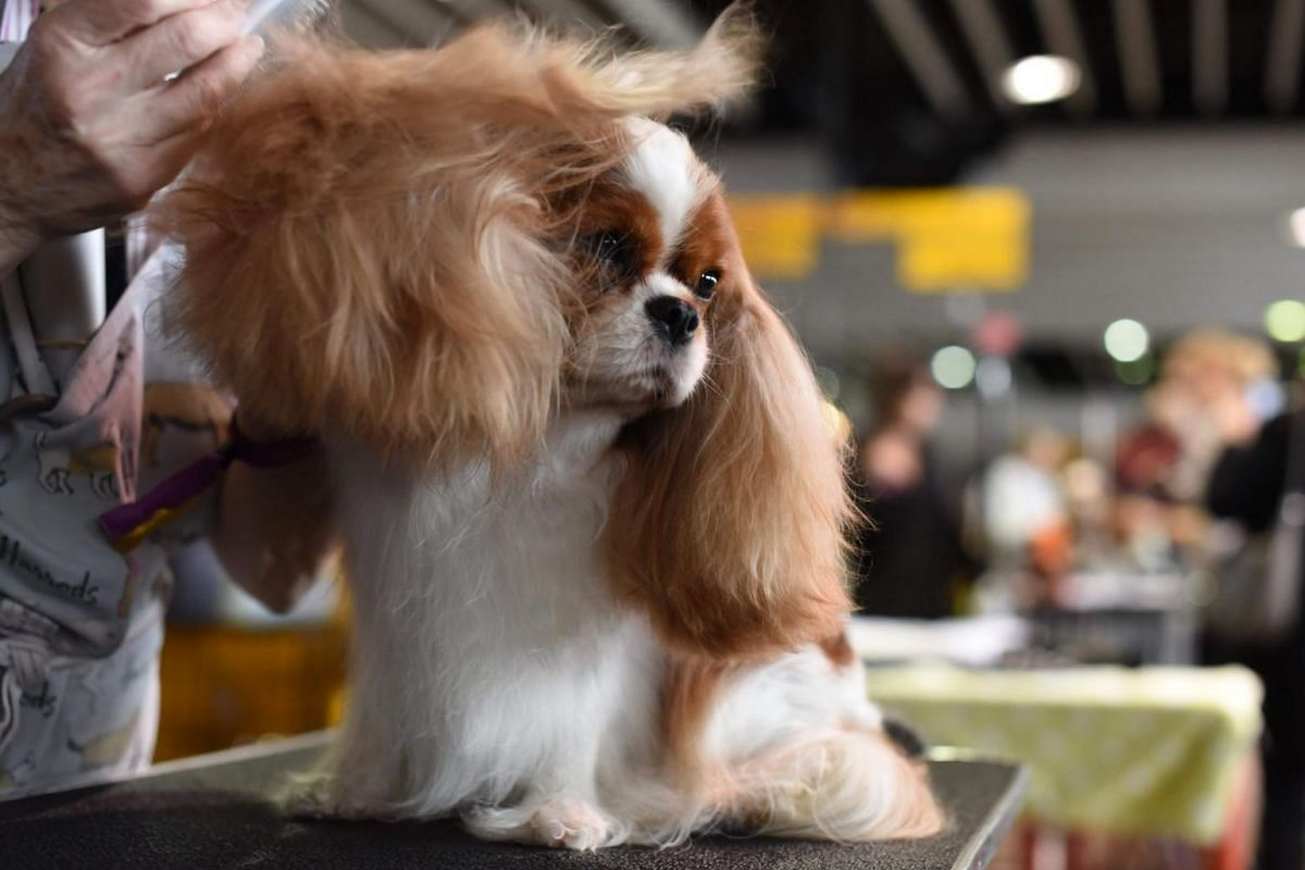 A Cavalier King Charles Spaniel being groomed in the benching area on day one of competition.