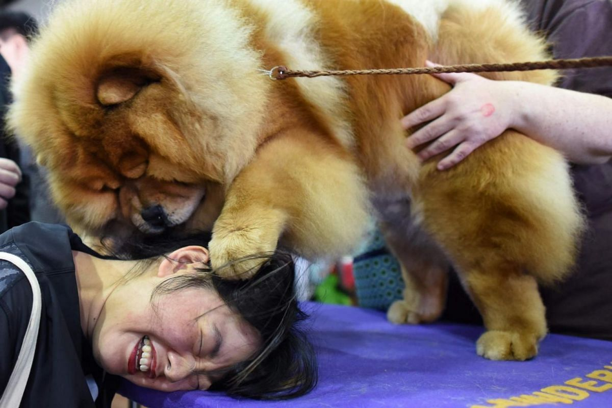 Candace Chien plays with a Chow Chow in a benching area.
