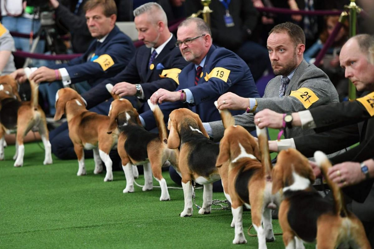 Beagles line up in the judging area during day one of the Westminster Dog Show at the Westminster Kennel Club in New York on Feb 12, 2018.