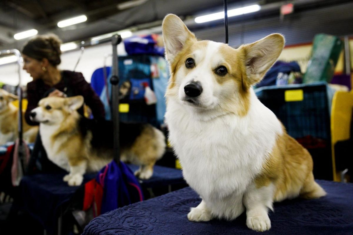A Corgi named Blake getting groomed for competition.